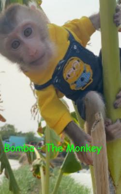 Bomba – The Monkey