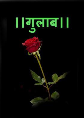।।गुलाब।।