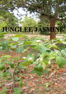 Junglee Jasmine