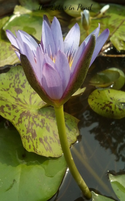 The Lotus in Pond