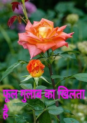 फूल गुलाब का खिलता है